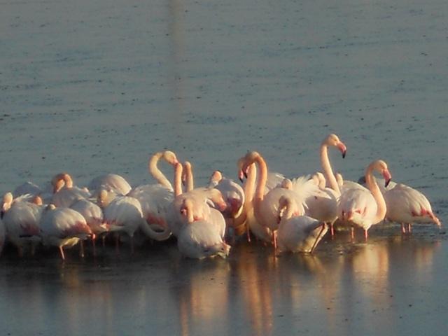 les flamants roses à serignan les plages